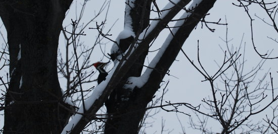 pileated woodpecker came to visit
