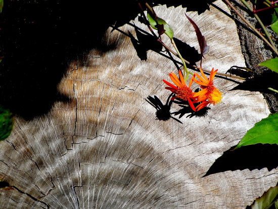 stump flower shadow