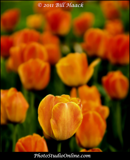 stlouis missouri usa spring flower tulip orange bokeh 041811