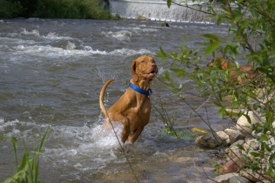 jumpoutthewater Alvaro power animal HungarianVizsla dog MagyarVizsla Viszla