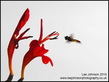 Nature Wildlife fly hoverfly flower Macro Spideyj
