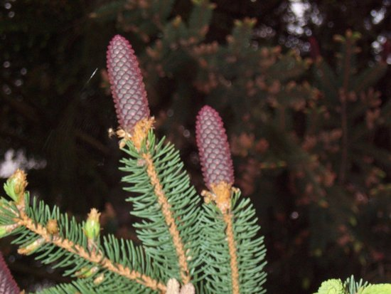 another new pine cone, didn't notice the spider web and spider when I took it. not real clear, ho...