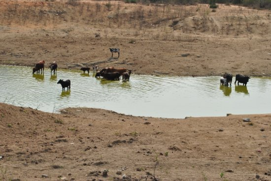 Angolan Cows drinking water