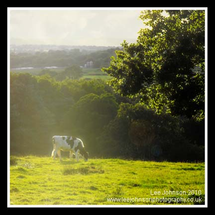 Landscape Cow Soft Focus Sunset Lancashire Spideyj