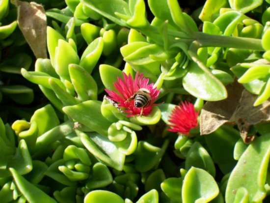 bee red flower san diego ca