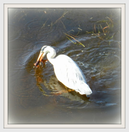 nature pond fish heron