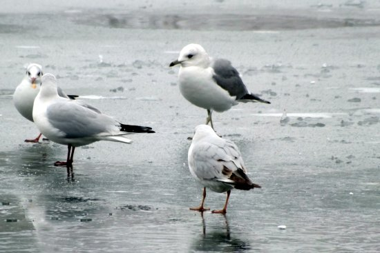 Seagul winter frozen lake