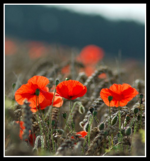 nicoalfredo rest in peace poppy red flower poppies somerset somersetdreams