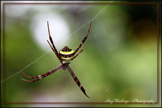 cross spider