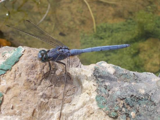 dragonfly water insect blue macro nature