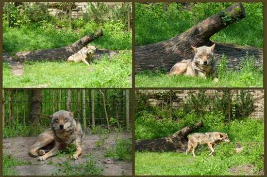 zoo nordhorn wolves