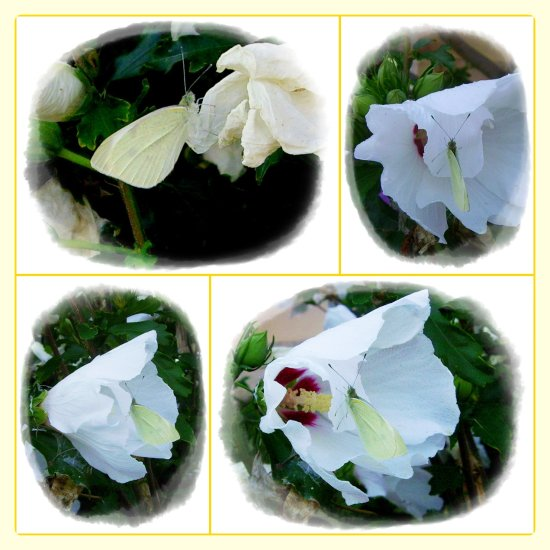 cabbage white butterfly on hibiscus collage