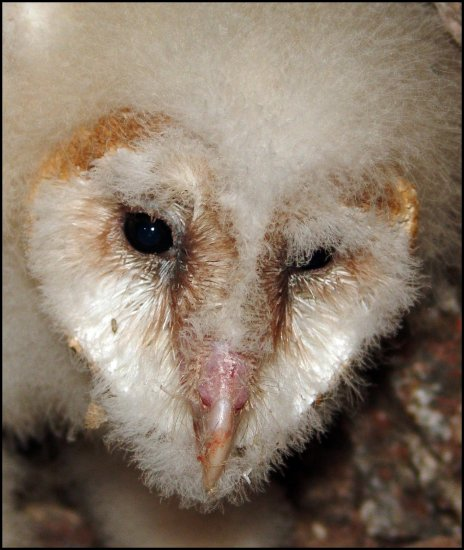 Baby Barn Owl up close