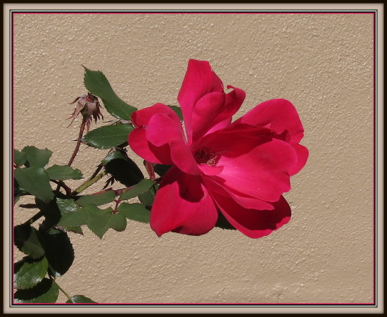 "A ""KnockOut"" rose on the south side of my house.  It's such a bright flower...lives up to its nam..."