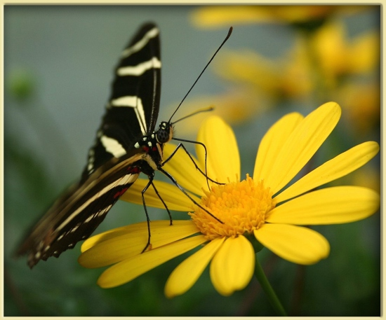Zebra longwing butterfly :)  This is Florida's state butterfly.  It is a graceful, slow flying bu...