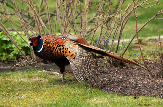 wildlife bird pheasant male
