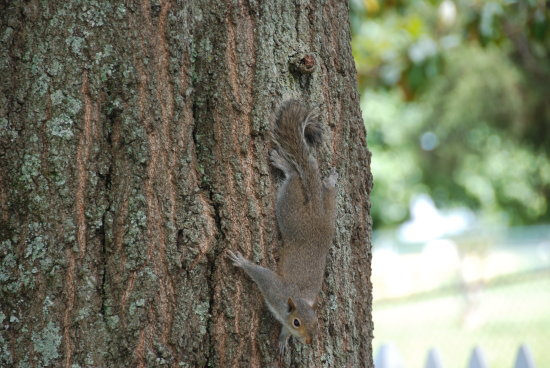 eastern gray squirrel critter