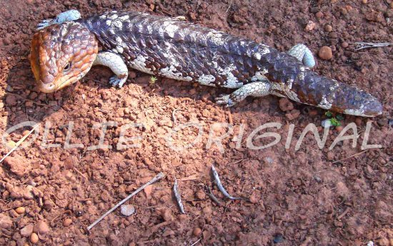 Bluetongue Lizard walk road bank bush perth hills Australia littleollie
