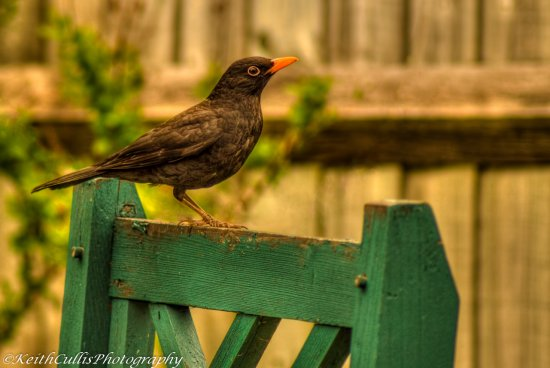 Blackbird Wildlife Nature