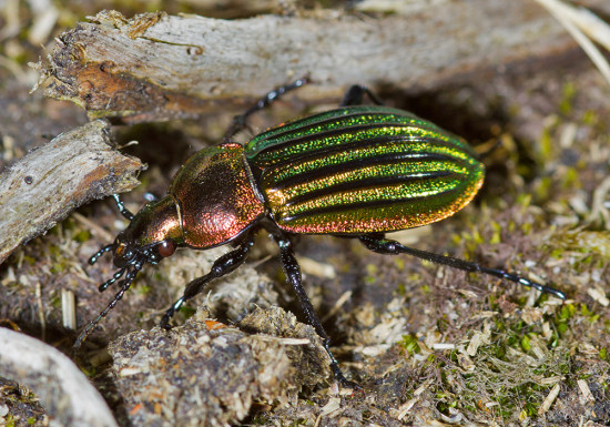 Heath Goldsmith beetle (Carabus nitens)