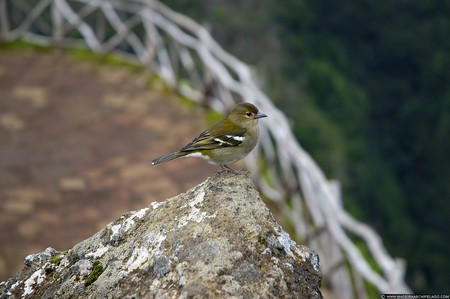 animalfriday Madeira Portugal 2007 theme rabacal bird rock fence green