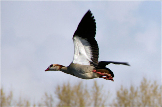 bird egyptian goose