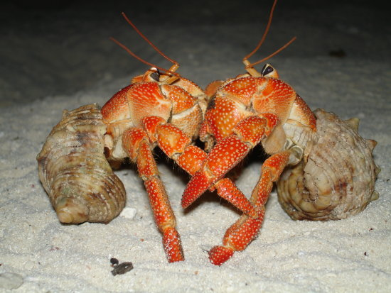 Crabs mating