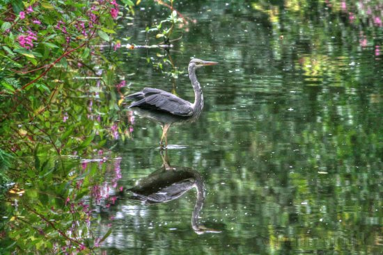 reflectionthursday water heron bird wildlife yorkshire