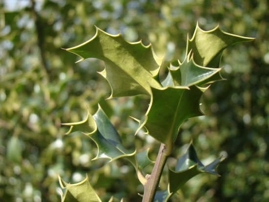 green holly