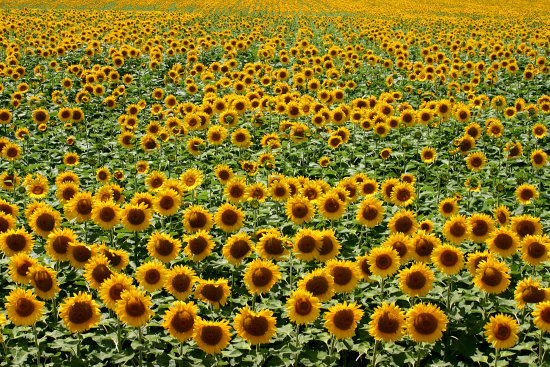 infinity yellow sunflower sunflowers bloom flower