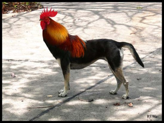 bird dog corn