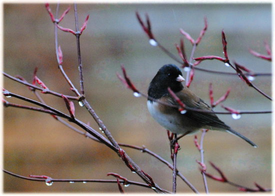 nature wildlife bird junco maple