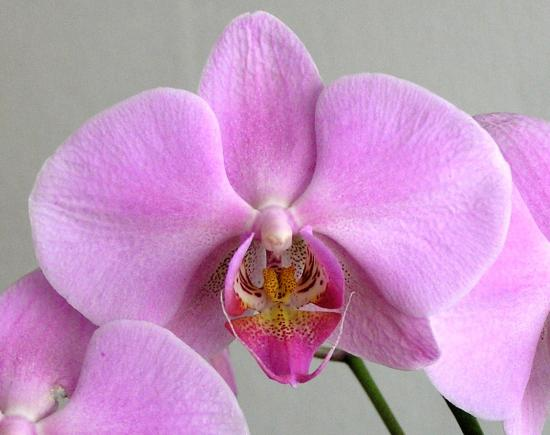 Series Orchids Flower