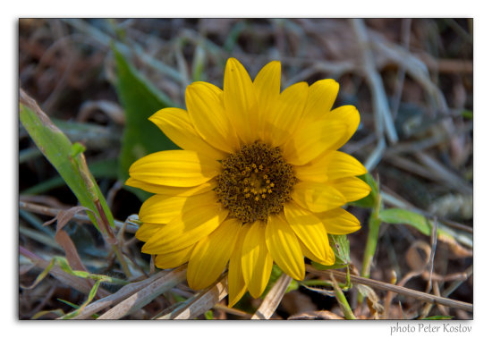 sunflower flower nature summer nikon sigma bulgaria