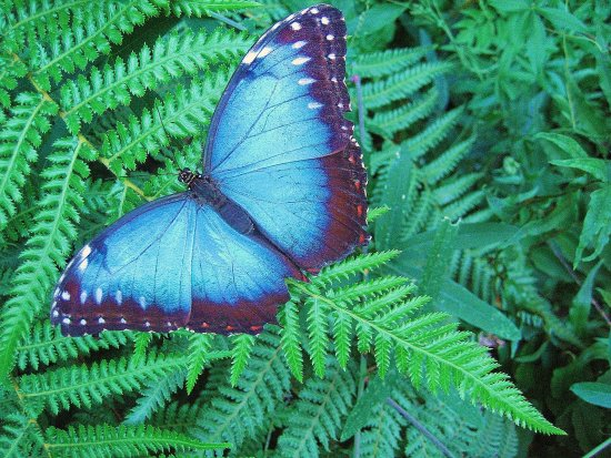 blue butterfly big