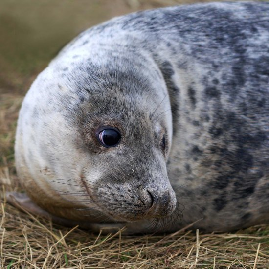 Grey Seal pup Donna Nook Lincolnshire wildlife nature