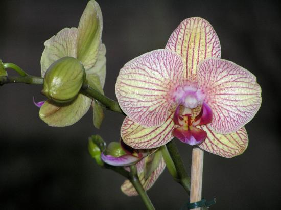 Series Flower Orchids