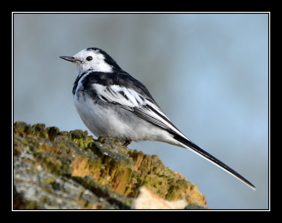 pied wagtail bird nature carl bovis greylake somerset uk carlsbirdclub