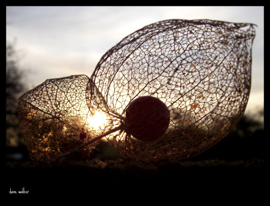 chinese lantern decay sunrise saffi9