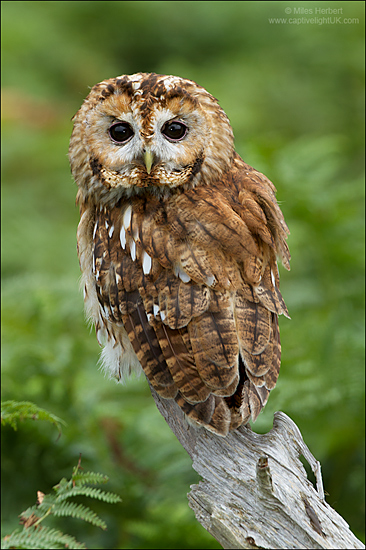 Tawny Owl Bird Nature Wildlife New Forest Raptor