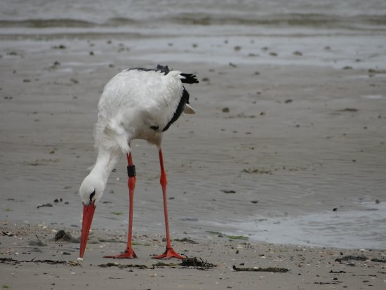 stork on the beach