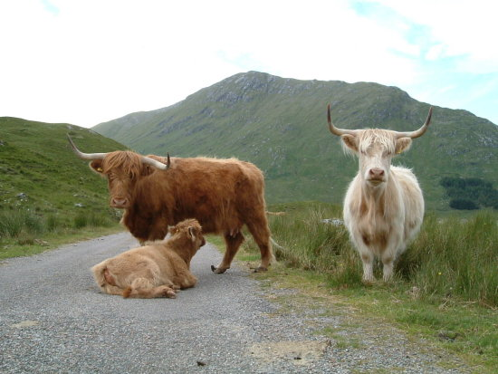 The cow jam in the Highlands of Scotland