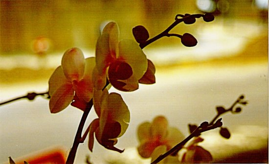 orchid flowers nature