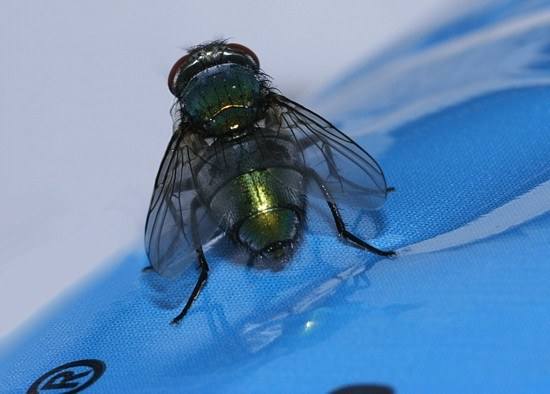 insect fly bluebottle