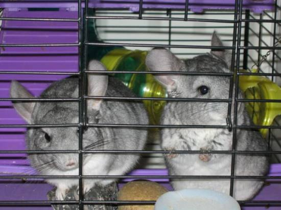 My chinchillas