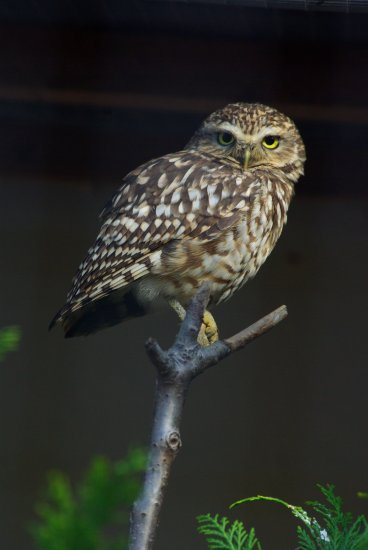 "a burrowing owl named "" Drizzle "" at the National Bird of Prey Centre."