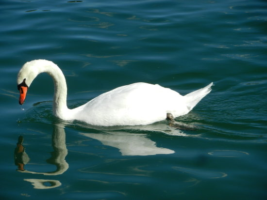 reflectionthursday swan lake leman Geneva Switzerland
