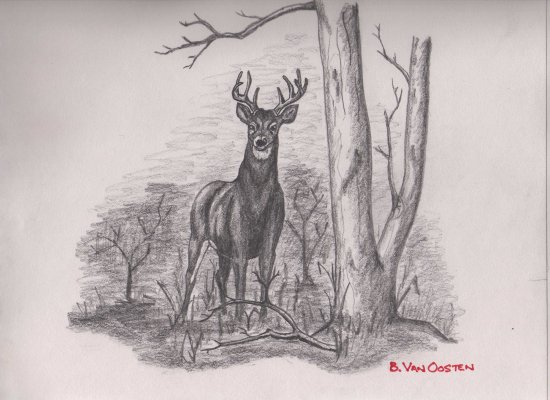 Whitetail Deer Sketch