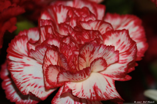 stlouis missouri us usa plant flower carnation 2007