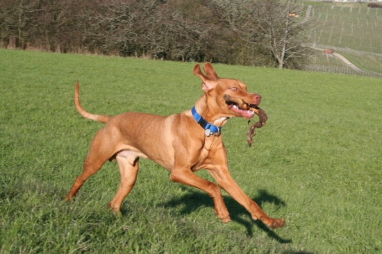 animal dog HungarianVizsla Vizsla Alvaro actionshot